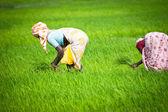 Hintli kadın pirinç alan çalışıyor — Foto de Stock