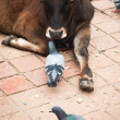 Holy cow and pigeons at Durbar Square. Nepal — Stock Photo