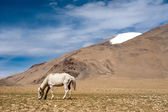 White wild horse at Himalaya mountains. India — Stockfoto