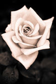 Grungy pink rose with water drops at vintage gothic style — Stock Photo