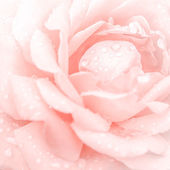 Abstract macro shot of beautiful pink rose flower — Stock Photo