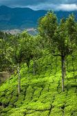 Tea plantation landscape, India — Stock Photo
