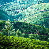 Tea plantation landscape, India — Stok fotoğraf