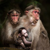 Macaque monkeys, India — Stock Photo