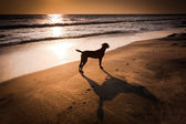 Dog at tropical beach under evening sun. — Stock Photo