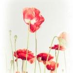 Wild poppy flowers on summer meadow — Stock Photo #49472245