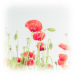Wild poppy flowers on summer meadow — Stock Photo
