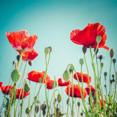 Wild poppy flowers on summer meadow — ストック写真