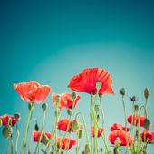 Wild poppy flowers on summer meadow — Fotografia Stock