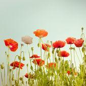 夏天草地上野生罂粟花朵 — 图库照片