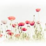 Wild poppy flowers on summer meadow — Stock Photo