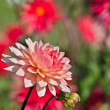 Dahlias — Stock Photo #20138705