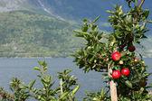 Apple-tree on a fjord coast — Stock Photo
