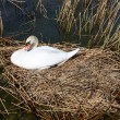 Swan nest — Stock Photo #19099141