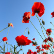 Poppies field — Stock Photo #26100473