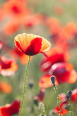 Poppies field — Stock fotografie