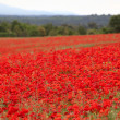 Poppies field — Stock Photo