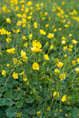 Buttercup — Stock Photo
