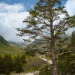 Pine tree at the wild mountain valley — Stock Photo