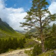 Stock Photo: Pine on a hill