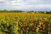 осенние виноградники — Стоковое фото