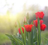tulips  — Photo