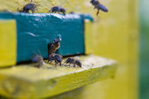 Bees near the hive — Stock Photo