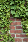 Ivy on a red brick wall — Stock Photo