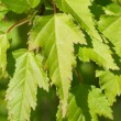 Natural background from green maple leaves — Stockfoto