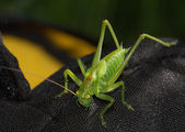 The green grasshopper sits on dark fabric — Foto Stock