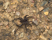 Large black spider on the earth — Stock Photo