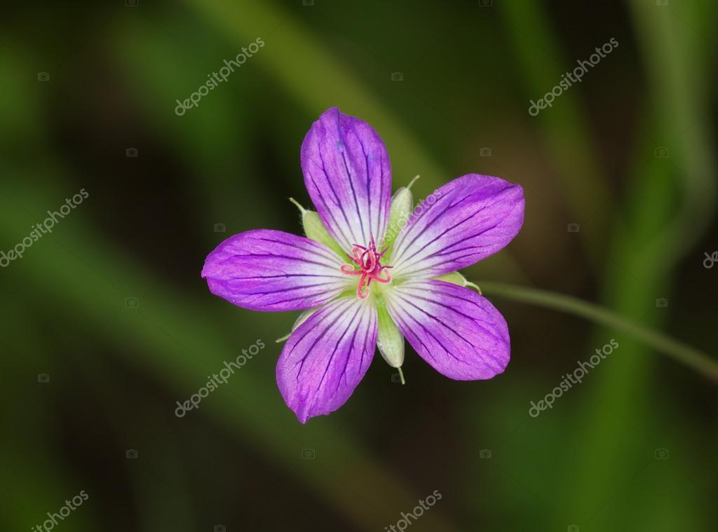 fleur de prairie rose — photographie olegrubik © #43141533