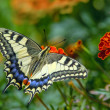 Swallowtail butterfly on the marygold flower — Stock Photo