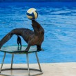 Fur seal with ball — Stock Photo