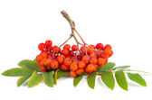 Rowan (ashberry) cluster — Stock Photo
