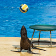 Fur seal with ball — Stok fotoğraf