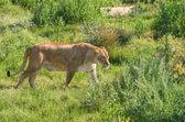 Liger chůze — Stock fotografie
