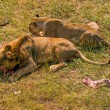 Постер, плакат: Two lions eating meat