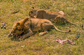 Two lions eating meat — Stock Photo