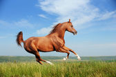 Beautiful red arabian horse running gallop — Stock Photo