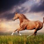 Beautiful red arabian horse running gallop — Stock Photo #19437785