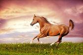 Beautiful red arabian horse running gallop — Stock Photo