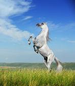 A grey arabian horse rearing — Stock Photo