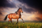 Beautiful brown horse running trot — Stock Photo
