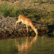 Africa Wildlife: Impala — Stock Photo