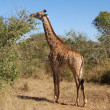 Female Giraffe in Africa — Stock Photo