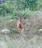Africa Wildlife: Impala — Stock Photo