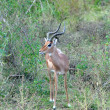 Africa Wildlife: Impala — Stock Photo #19668939