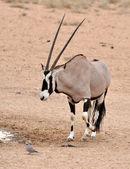 Gemsbok Antelope (Oryx gazella) — Stockfoto