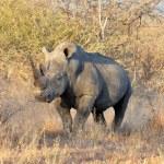 Africa Big Five: White Rhinoceros — Stock Photo